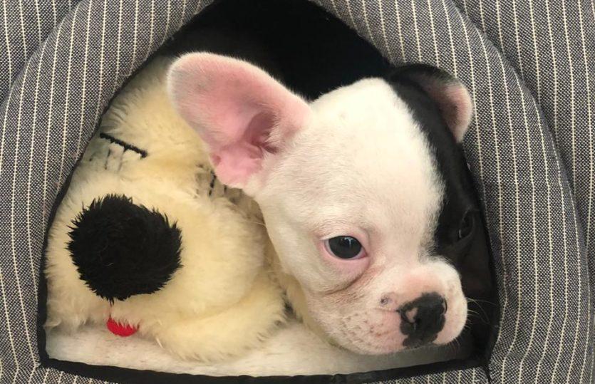 Bulldog Francês: nosso novo amor